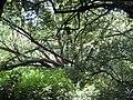 Crack Willow (Salix fragilis) - geograph.org.uk - 1349366.jpg