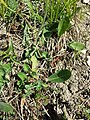 Crepis praemorsa sl33.jpg