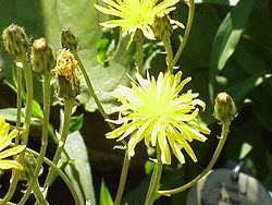 meaning of crepis