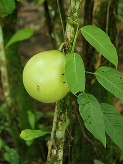 Crescentia cujete (fruit and foilage).jpg