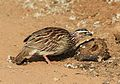 Crested Francolin, Dendroperdix sephaena, feeding in dung at Pilanesberg National Park, Northwest Province, South Africa (29824303546).jpg