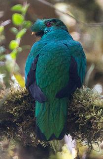 Crested quetzal species of bird