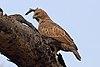 Crested hawk-eagle (Nisaetus cirrhatus cirrhatus).jpg