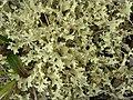 Crinkled Snow Lichen (3816001159).jpg