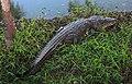 Crocodylus moreletii Balacan2020p2.jpg