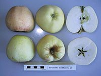 Cross section of Antonovka Grammovaya 600, National Fruit Collection (acc. 1975-339).jpg