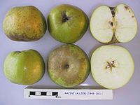 Cross section of Racine (Allier), National Fruit Collection (acc. 1949-161).jpg