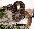Crotalus atrox CDC.png