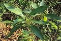 Croton persimilis 02.JPG