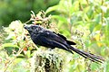 Crotophaga ani (Garrapatero común) (1) - Flickr - Alejandro Bayer.jpg