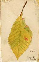 Crumpled and Withered Leaf Edge SAAM-1950.2.25B 1.jpg