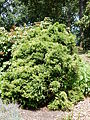 Cryptomeria japonica 'Elegans nana' in Morris Arboretum.JPG