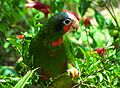 Cuban Amazon Parrot in the Cayman Islands.jpg