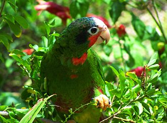 Cuban amazon - Image: Cuban Amazon Parrot in the Cayman Islands