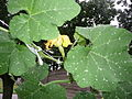 Cucurbita moschata (zapallo espontáneo) flor femenina F06 dia01 vista lateral pétalos rotos no cerrados.JPG
