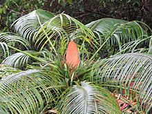 Cycas micronesica photo courtesy A. Gawel (15391498081).jpg
