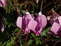 Cyclamen at Kenn - geograph.org.uk - 581535.jpg