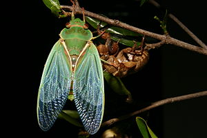 Cyclochila australasiae - A Green grocer cicada drying its wings