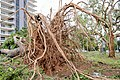 Cyclone Marcus in Darwin – Roots of huge uprooted tree 01.jpg
