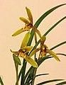 Cymbidium Maureen Carter x sinense -台南國際蘭展 Taiwan International Orchid Show- (40150279464).jpg