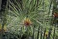 Cyperus papyrus 22zz.jpg