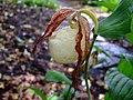 Cypripedium kentuckiense flower.jpg