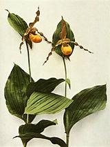 Cypripedium parviflorum var pubescens WFNY-031.jpg