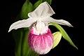 Cypripedium reginae '-190401' Walter, Fl. Carol. 222 (1788) (48036517543).jpg