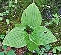 Cypripedium reginae imported from iNaturalist photo 706956.jpg
