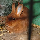Czech Red Rabbit.jpg