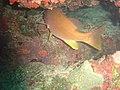 DSC00287 - peixe amarelo - Naufrágio e recifes de coral no Nilo.jpg