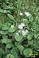 Daisies and plantains (NH Doly) (31254367324).jpg
