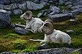 Dall Sheep.(Ovis dalli) (37435592681).jpg
