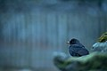 Day 4- A blackbird in Grasmere (8428655968) (2).jpg