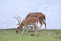 Deer beside water.jpg