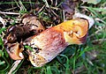 Deformed Suillus grevillae - Flickr - gailhampshire (2).jpg