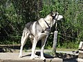 Denali National Park Sled dog 02.jpg