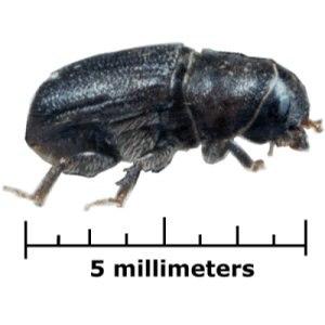 Bark beetle - Mountain pine beetle, Dendroctonus ponderosae