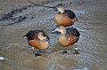 Dendrocygna javanica (Lesser Whistling Duck - Zwergpfeifgans) Weltvogelpark Walsrode 2012-003.jpg