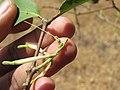 Dendrophthoe falcata var. falcata - Honey Suckle Mistletoe at Blathur 2017 (7).jpg