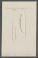 Dentalium eburneum - - Print - Iconographia Zoologica - Special Collections University of Amsterdam - UBAINV0274 081 10 0012.tif