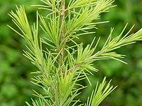Photograph of the needles of the Deodar Cedar ...