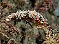 Dermatobranchus ornatus (Arminidae nudibranch).jpg