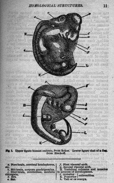 File:Descent of Man 1874 - Fig 1.png