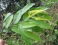 Desmos lawii - Sahyadri Ylang-Ylang 10.jpg