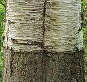 Detail van een oude berk (Betula SP). Locatie Hortus Haren 02.jpg