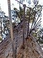 Diamond Tree from the ground SMC 2006.jpg
