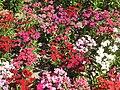 Dianthus barbatus HRM.jpg