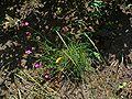 Dianthus carthusianorum 001.JPG