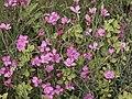 Dianthus deltoides-IMG 0593.jpg